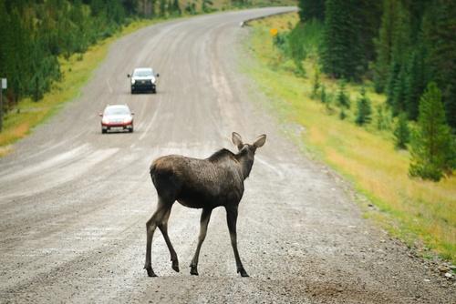 dzīvnieks uz ceļa